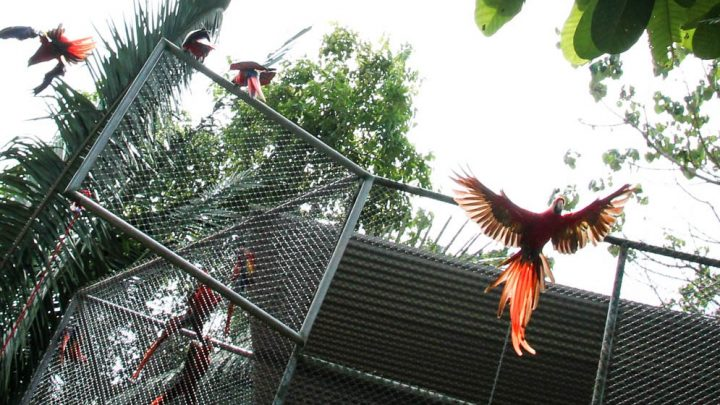 Scarlet Macaw release in Cabuya