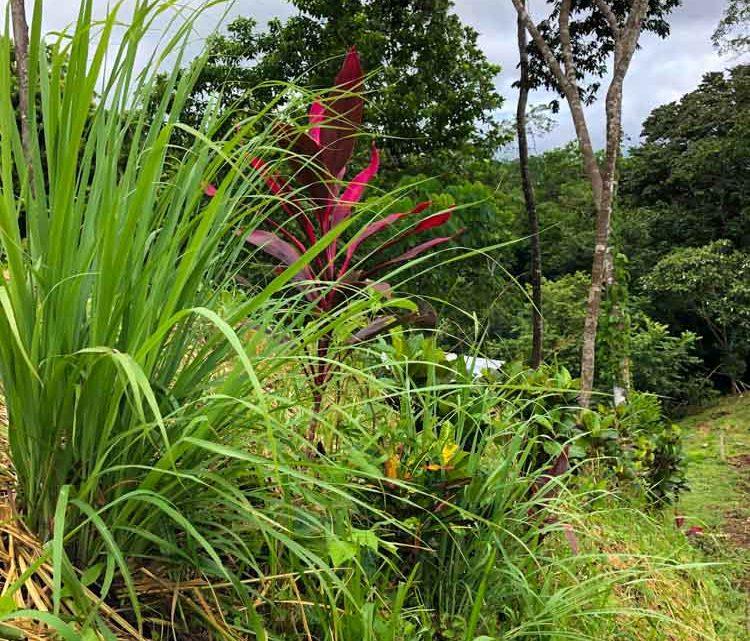 Lemom grass and crotos trail