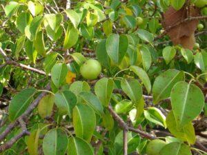 árbol de manzanillo arbol venenoso