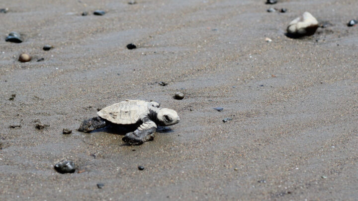 Baby turtle going to the sea
