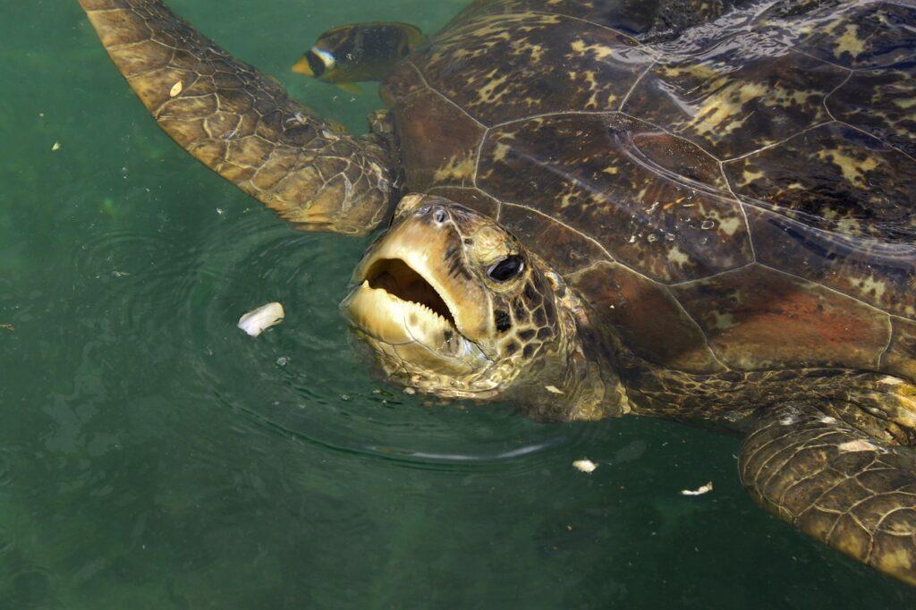 Surfing with turtles in Montezuma beach Costa Rica