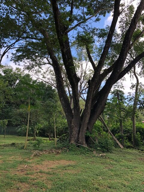 Guanacaste tree in Costa Rica house for sale